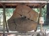 Redwoods-0921-03