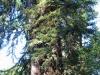 Redwoods-0921-10