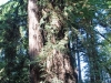 Redwoods-0921-11