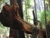 Redwoods-0921-12