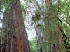 Redwoods-0921-14