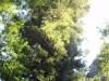 Redwoods-0921-16