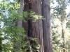 Redwoods-0921-17