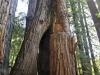 Redwoods-0921-25