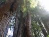 Redwoods-0921-27