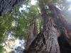 Redwoods-0921-31
