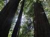 Redwoods-0921-33