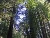 Redwoods-0921-34