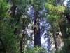 Redwoods-0921-35