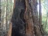 Redwoods-0921-36