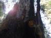 Redwoods-0921-37