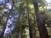 Redwoods-0921-38