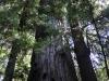 Redwoods-0921-41