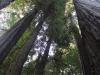 Redwoods-0921-42