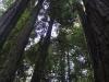 Redwoods-0921-43