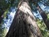 Redwoods-0921-50