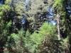 Redwoods-0921-53