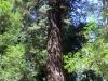Redwoods-0921-54