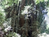 Redwoods-0921-56