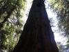 Redwoods-0921-59