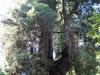 Redwoods-0921-62