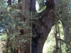 Redwoods-0921-63