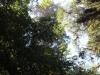 Redwoods-0921-64