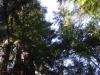 Redwoods-0921-67