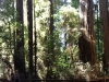 Redwoods-0921-70